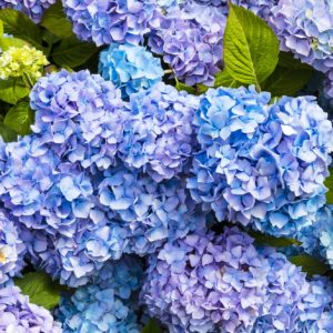 Blue and Lavender Hydrangea
