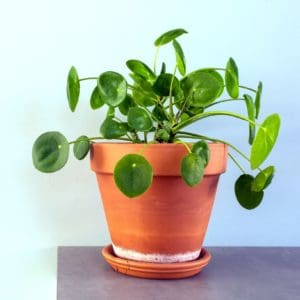 money plant in orange pot on counter