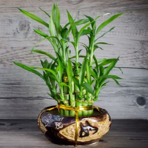 Lucky Bamboo in ceramic pot