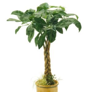 small money tree in yellow pot