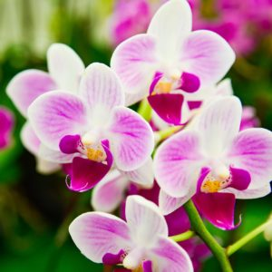 purple and white Phalaenopsis Orchid