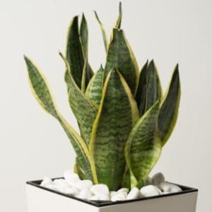 snake plant in square white pot with white stones