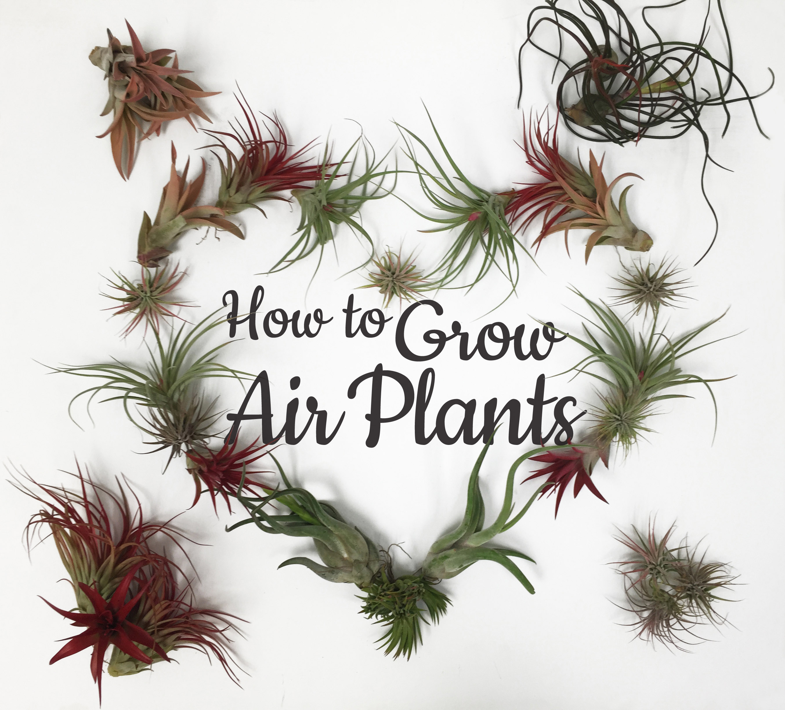 How To Care For Air Plants Freytags Florist