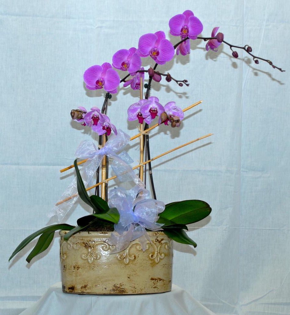 Phalaenopsis Orchid from Moravian Florist